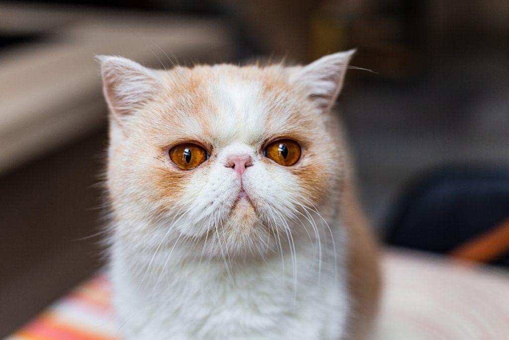 kot egzotyczny jak wygląda