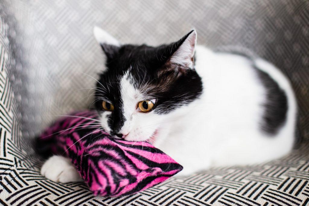 kopacz the miss cat